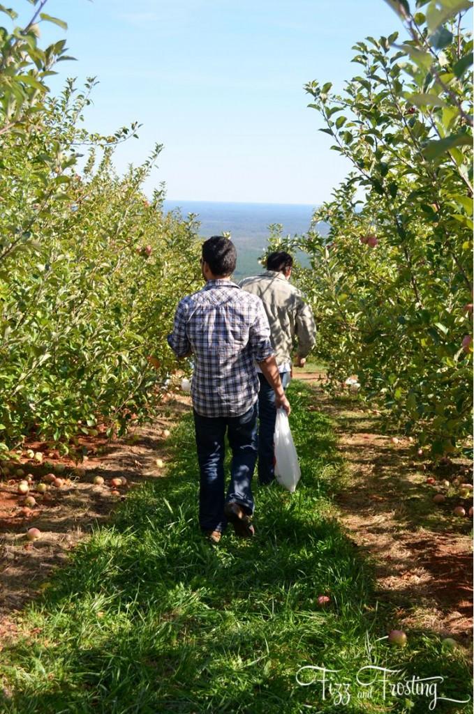Fuji apple orchard