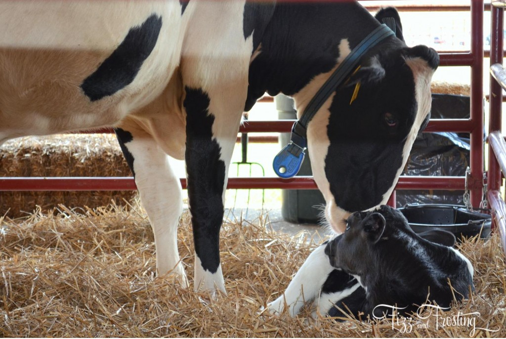 Baby cow with mom at the agricultural center