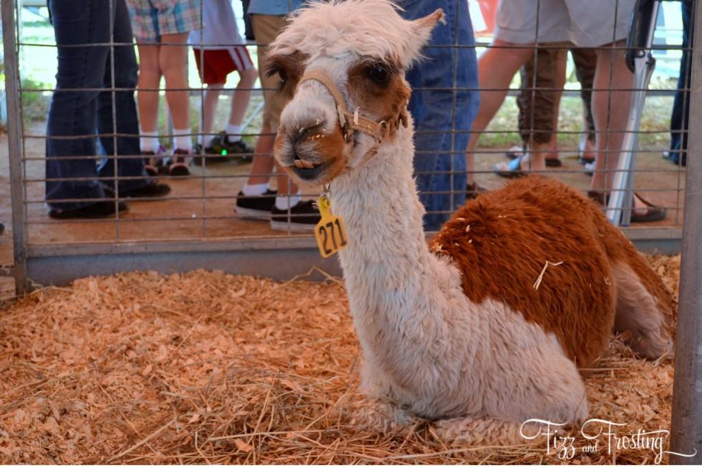 Petting zoo llama